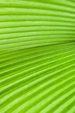 Green Palm Leaf. Vein and Texture Royalty Free Stock Image