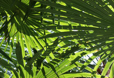 Green palm leaf. Palm Leaf as a background Stock Photos