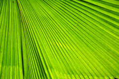 Green palm leaf Royalty Free Stock Photo