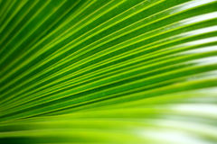 Green palm leaf. In details Stock Photos