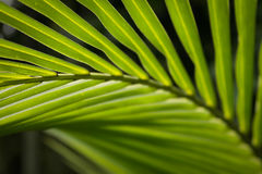 Green palm leaf at Asia Stock Photos