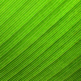 Green palm leaf  backgroud Royalty Free Stock Image