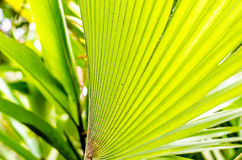 Green palm leaf backgroud Royalty Free Stock Photography