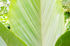 Green palm leaf backgroud Stock Photography