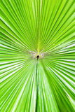 Green palm leaf background. Botanic garden, Phuket, Thailand Royalty Free Stock Photos