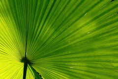 Green palm leaf background. Abstract green palm leaf background Royalty Free Stock Photos