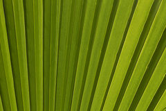 Green palm leaf for background. Close up Royalty Free Stock Photo
