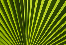 Green palm leaf for background. Close up Stock Photos