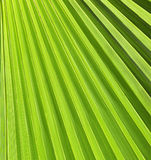 Green palm leaf Royalty Free Stock Images