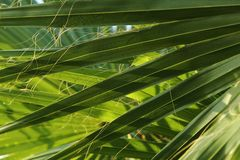 Green palm leaf background Royalty Free Stock Image
