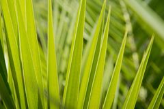 Green palm leaf background. Tropical plant leaves. Royalty Free Stock Photos