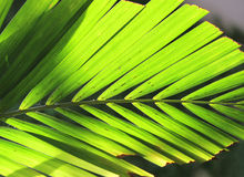 Green palm leaf on backlight Stock Photography