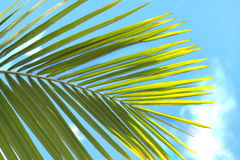 Green palm leaf on a blue sky Royalty Free Stock Photography