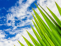 Green palm Leaf with Blue sky Stock Photo