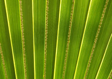 Green palm leaf in botanical garden Royalty Free Stock Photo