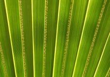 Green palm leaf in botanical garden. Green palm leaf in Valencian botanical garden Royalty Free Stock Photo