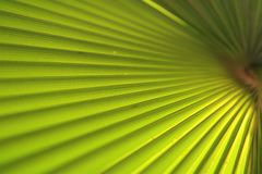 Green palm leaf close up Royalty Free Stock Images