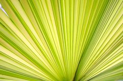 Green palm leaf close up Stock Photo