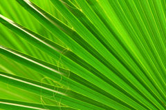 Green palm leaf close-up Royalty Free Stock Photography