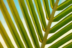 Green Palm Leaf Close Up Royalty Free Stock Photo