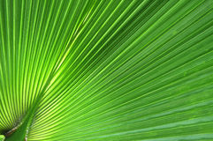 Green palm leaf close up background Royalty Free Stock Images