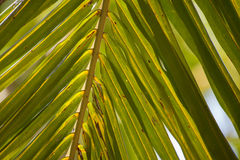 Green palm leaf, close-up Royalty Free Stock Photos