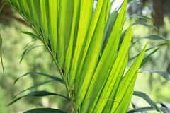Green palm leaf closeup Stock Images