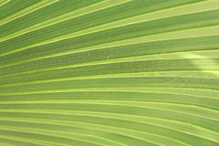 Green palm leaf closeup Stock Image