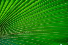 Green palm leaf. A green palm leaf background royalty free stock images