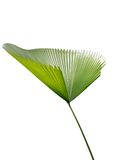 Green palm leaf. An isolated green palm leaf royalty free stock image