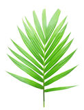 Green palm leaf isolated. On white background royalty free stock photography