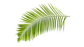 Green palm leaf isolated on white background with clipping path. Green palm leaf isolated on white background with clipping pat้h stock image