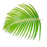 Green palm leaf isolated on white background with clipping path. Summer royalty free stock image