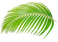 Green palm leaf isolated on white background with clipping path. Summer stock image