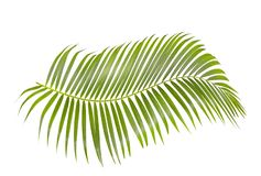 Green palm leaf isolated on white background with clipping path. Coconut leaves stock photos