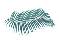 Green palm leaf isolated on white background with clipping path. Coconut leaves royalty free stock images