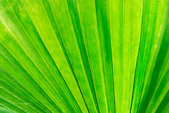 Green palm leaf macro Stock Photography
