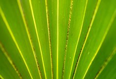 Green Palm Leaf Stock Photography