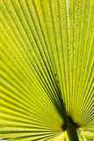 Green palm leaf. Pattern or background Royalty Free Stock Photography