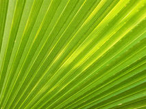 Green palm leaf. Pattern in green palm leaf showing clearly against sun royalty free stock photos