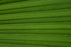 Green Palm Leaf Structure close-up royalty free stock photography