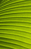 Green palm leaf texture 01 Royalty Free Stock Photography