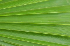 Green palm leaf. Texture of Green palm leaf Stock Photography