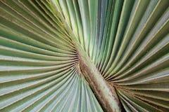 Green palm Leaf Royalty Free Stock Photos