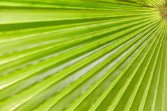 Green palm leaf texture Stock Photo