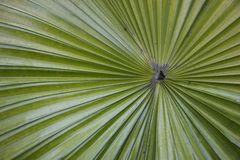Green palm leaf texture. Background Stock Image