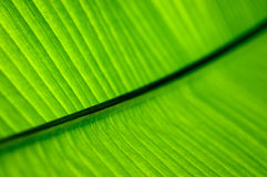 Green palm leaf texture background Stock Photography