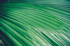 Green palm leaf texture Stock Photography