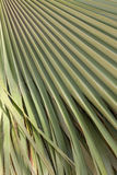 Green palm leaf texture. The green palm leaf texture for background Royalty Free Stock Images