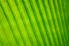 Green palm leaf texture background. Royalty Free Stock Photos